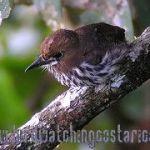 [:en]Bird Lanceolated Monklet[:es]Ave Monjito Rayado[:]