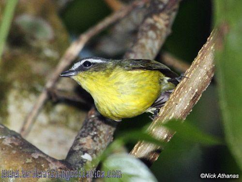 [:en]Bird Yellow-bellied Tyrannulet[:es]Ave Mosquerito Cejiblanco[:]