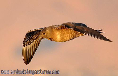 [:en]Bird Long-tailed Jaeger[:es]Ave Págaro Colilargo[:]