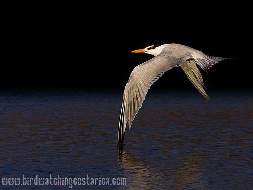 [:en]Bird Elegant Tern[:es]Ave Pagaza Elegante[:]
