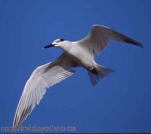 [:en]Bird Sandwich Tern[:es]Ave Pagaza Puntiamarilla[:]