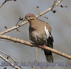 [:en]Bird White-winged Dove[:es]Ave Paloma Aliblanca[:]