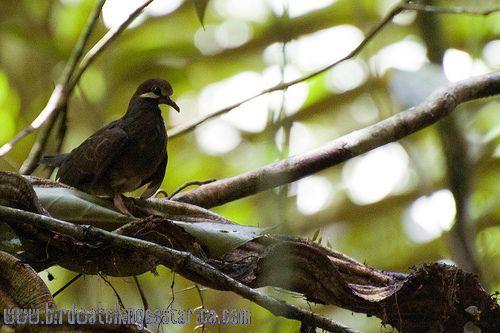 [:en]Bird Olive-backed Quail-Dove[:es]Ave Paloma-Perdiz Bigotiblanca[:]