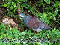 [:en]Bird Buff-fronted Quail-Dove[:es]Ave Paloma-Perdiz Costarriqueña[:]