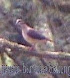 [:en]Bird Violaceous Quail-Dove[:es]Ave Paloma-Perdiz Violácea[:]