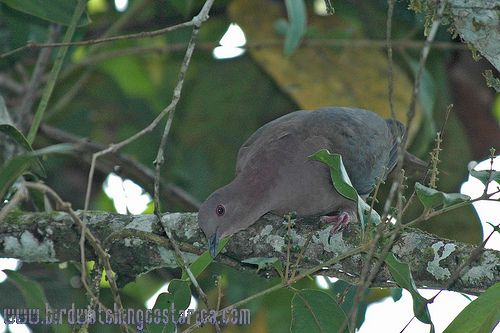 [:en]Bird Short-billed Pigeon[:es]Ave Paloma Piquicorta (Dos tontos son)[:]