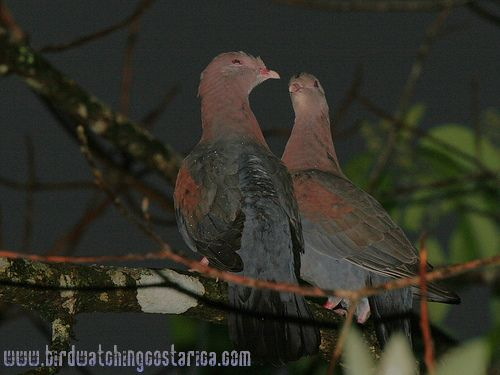 [:en]Bird Red-billed Pigeon[:es]Ave Paloma Piquirroja[:]