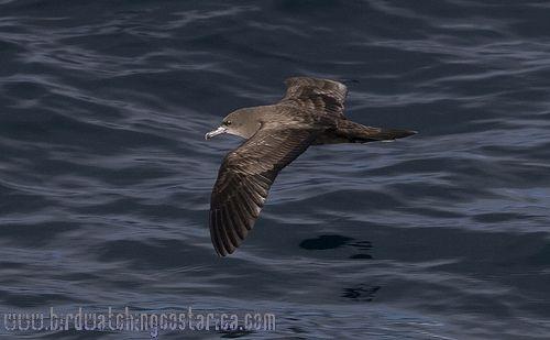 [:en]Bird Wedge-tailed Shearwater[:es]Ave Pardela Colicuña[:]