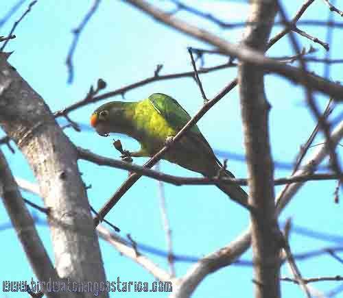 [:en]Bird Orange-fronted Parakeet[:es]Ave Perico Frentinaranja[:]