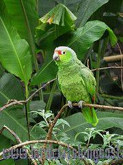 [:en]Bird Crimson-fronted Parakeet[:es]Ave Perico Fretirrojo[:]