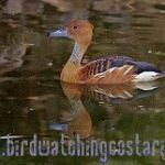 [:en]Bird Fulvous Whistling-Duck[:es]Ave Pijije Canelo[:]