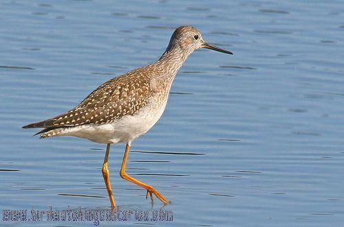 [:en]Bird Upland Sandpiper[:es]Ave Pradero[:]