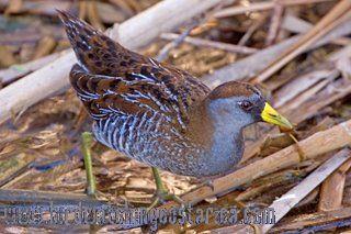 [:en]Bird Uniform Crake[:es]Ave Rascón Café[:]