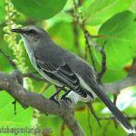 [:en]Bird Tropical Mockingbird[:es]Ave Sinsonte Tropical[:]