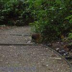 [:en]Bird Highland Tinamou[:es]Ave Tinamú Serrano[:]