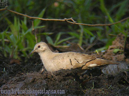 [:en]Bird Ruddy Ground-Dove[:es]Ave Tortolita Rojiza[:]
