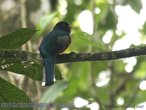 [:en]Bird Collared Trogon[:es]Ave Trogón Collarejo[:]