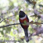 [:en]Bird Elegant Trogon[:es]Ave Trogón Elegante[:]