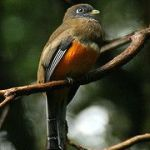 [:en]Bird Orange-bellied Trogon[:es]Ave Trogón Vientrianaranjado[:]