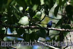 [:en]Bird Indigo Bunting[:es]Ave Azulillo Norteño[:]