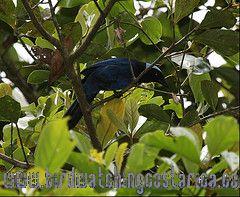 [:en]Bird Azure-hooded Jay[:es]Ave Urraca de Toca Celeste[:]