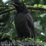 [:en]Bird Bare-necked Umbrellabird[:es]Ave Pájaro-sombrilla Cuellinudo[:]