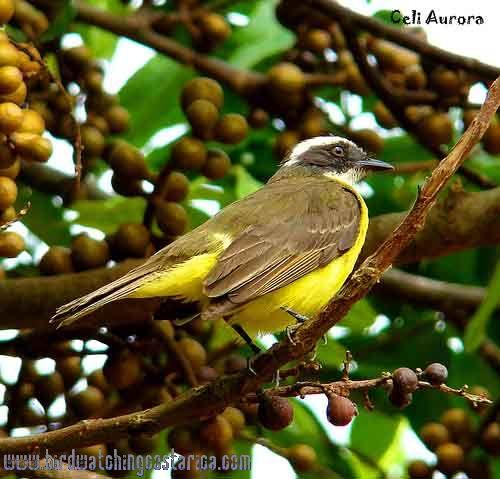 [:en]Bird Rusty-margined Flycatcher[:es]Ave Bienteveo Alicastaño[:]