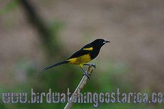 [:en]Bird Black-cowled Oriole[:es]Ave Bolsero Capuchinegro[:]