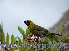 [:en]Bird Black-faced Grosbeak[:es]Ave Picogrueso Carinegro[:]