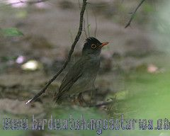 [:en]Bird Black-headed Nightingale-Thrush[:es]Ave Zorzal Cabecinegro[:]