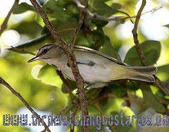 [:en]Bird Black-whiskered Vireo[:es]Ave Vireo Bigotudo[:]