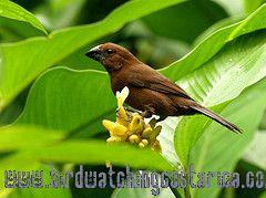[:en]Bird Blue-black Grosbeak[:es]Ave Picogrueso Negro Azulado[:]
