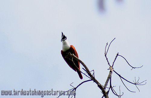 [:en]Bird Three-wattled Bellbird[:es]Ave Campanero Tricarunculado[:]