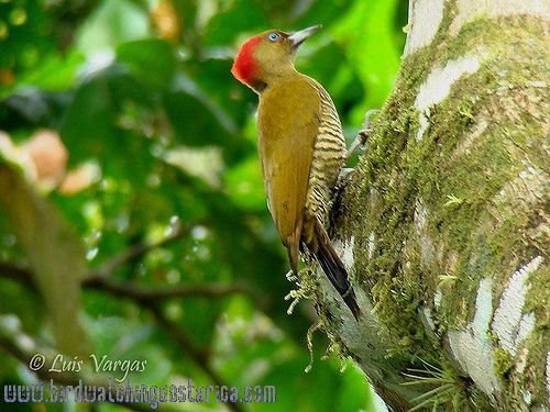 [:en]Bird Rufous-winged Woodpecker[:es]Ave Carpintero Alirrufo[:]