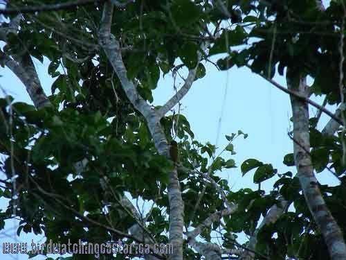 [:en]Bird Red-rumped Woodpecker[:es]Ave Carpintero Lomirrojo[:]