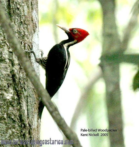[:en]Bird Pale-billed Woodpecker[:es]Ave Carpintero Picoplata[:]