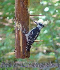 [:en]Bird Hairy Woodpecker[:es]Ave Carpintero Serranero o Velloso[:]