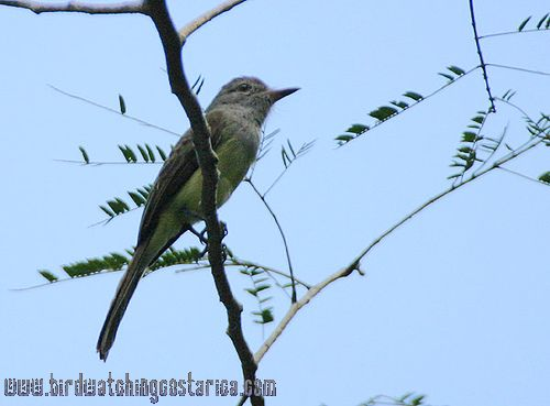 [:en]Bird Panama Flycatcher[:es]Ave Copetón Colipardo[:]