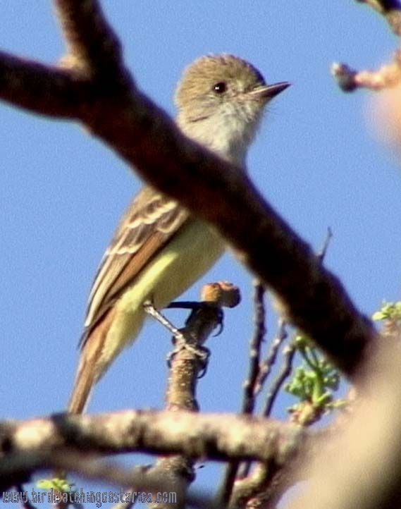[:en]Bird Nutting´s Flycatcher[:es]Ave Copetón de Nutting[:]