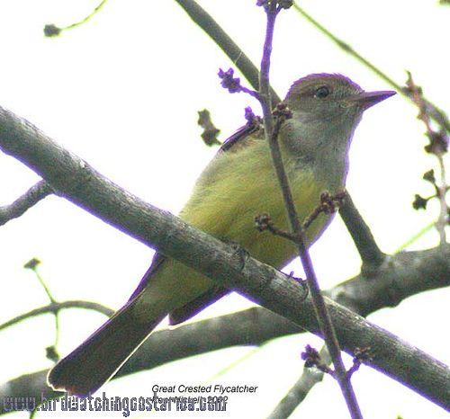 [:en]Bird Great Crested Flycatcher[:es]Ave Copetón Viajero[:]