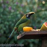 [:en]Bird Emerald Toucanet[:es]Ave Curré, Tucancillo Verde[:]