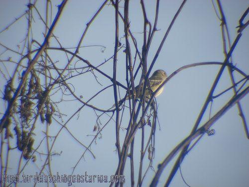 [:en]Bird Lesser Elaenia[:es]Ave Elainia Sabanera[:]