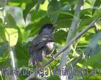[:en]Bird Black-headed Antthrush[:es]Ave Gallito Hormiguero Cabecinegro[:]
