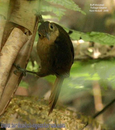 [:en]Bird Buff-throated Foliage-gleaner[:es]Ave Hojarrasquero Gorgianteado[:]