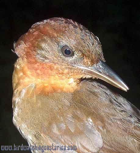 [:en]Bird Ruddy Foliage-gleaner[:es]Ave Hojarrasquero Rojizo[:]