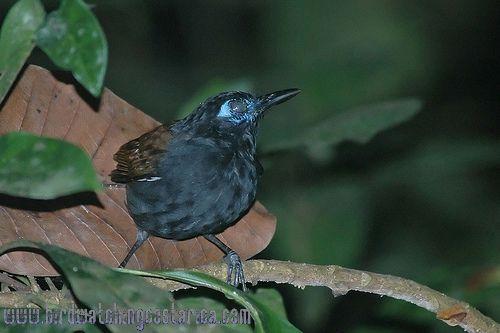 [:en]Bird Chestnut-backed Antbird[:es]Ave Hormiguero Dorsicataño[:]