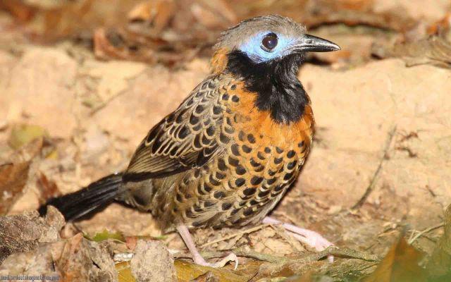 [:en]Bird Ocellated Antbird[:es]Ave Hormiguero Ocelado[:]
