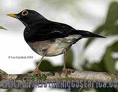 [:en]Bird White-throated Robin[:es]Ave Mirlo Gorgiblanco[:]