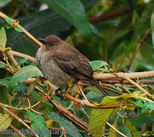 [:en]Bird Mountain Robin[:es]Ave Mirlo Montañero[:]