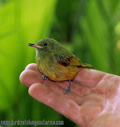 [:en]Bird Ochre-bellied Flycatcher[:es]Ave Mosquerito Aceitunado[:]